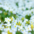 Spring flowers — Stock Photo #3489820