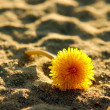 Solitary dandelion — Stock Photo