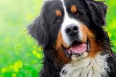 Bernese Mountain Dog portrait — Stock Photo