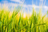 Wheat field. Agriculture — Stock Photo