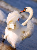Cisnes en el mar — Foto de Stock