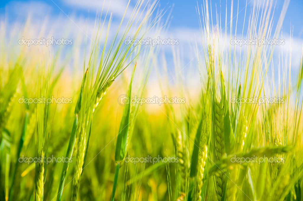 Wheat field. Sunny agriculture landscape — Stock Photo #3480517