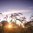 Sunset field scenery — Stock Photo #3493377