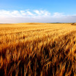 Wheat field — Stock Photo #3493450