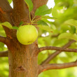 Apple hanging from a tree - Stock Photo