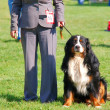 Bernese mountain dog with it's handler — Stock Photo