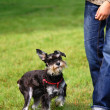 Little Schnauzer with it's handler — Stock Photo