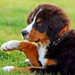 Portrait of puppy Bernese mountain dog — Stock Photo #3494569
