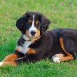 Portrait of puppy Bernese mountain dog - Stock Photo