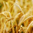 Wheat field — Stock Photo #3494861