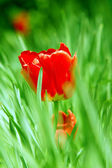 Red tulip in grass — Stock Photo