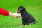 Playing with Bernese mountain dog — Stock Photo
