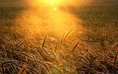 Sunset field scenery — Stock Photo