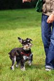 Little Schnauzer with it's handler — Stock Photo