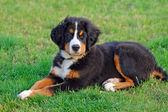 Portrait of puppy Bernese mountain dog — Stock Photo