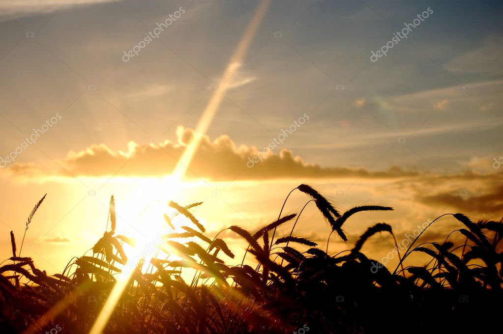 Sunset wheat field scenery background — Stock Photo #3493350