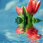 Tulips background — Stock Photo #3500180