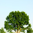 Tree at summer — Stock Photo