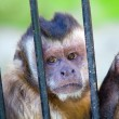 Monkey species Cebus Apella behind bars - Stock Photo