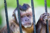 Monkey species Cebus Apella behind bars — Stock Photo
