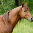 Stock Photo: Portrait of beautiful Red hack stallion