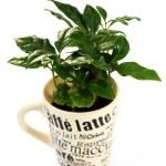 Coffee plant — Stock Photo #3061477