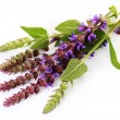 Sage flowers - Stock Photo