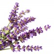 Lavender flowers — Stock Photo #3422926
