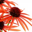 Echinacea flowers - Stock Photo