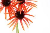 Echinacea flowers — Stock Photo