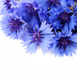 Cornflowers — Stock Photo