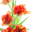 Orange tulips — Foto Stock