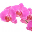 Pink orchid — Stock Photo #4468452