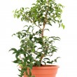 Bonsai tree — Stock Photo #4468782