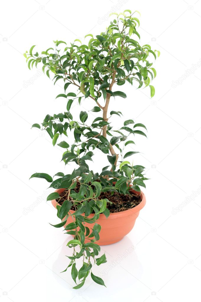Bonsai tree - ficus isolated on white  Stock Photo #4468794