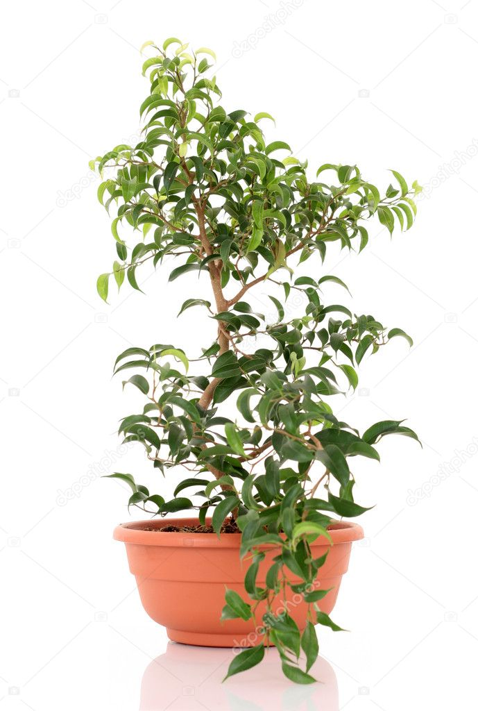 Bonsai tree - ficus isolated on white  Stock Photo #4468797