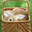 Rabbits - Stock Photo