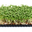 Watercress - Stock Photo