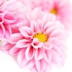 Pink dahlia — Stock Photo #4538515