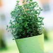 Pot of oregano - Stock Photo