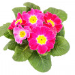 Primula flower — Stock Photo #4946944