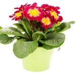 Primula flower — Stock Photo #4947032