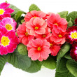 Primula flower — Stock Photo