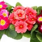Primula flower — Stock Photo #4947069