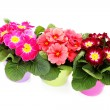 Primula flower - Stock Photo