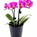 orquídea rosa — Foto Stock