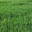 Green grass — Foto Stock