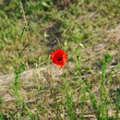 Beautiful red poppies — Stockfoto