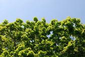 Foglie verdi e soleggiate travi — Foto Stock