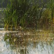 Reeds at the lake — Stock Photo #3219508
